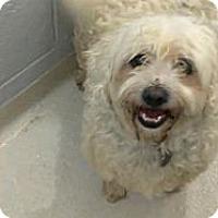 Adopt A Pet :: porky - cameron, MO