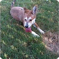 Adopt A Pet :: Marsha - Arlington, TX