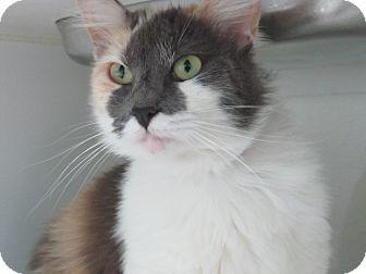 Domestic Mediumhair Cat for adoption in Long Beach, California - Mia