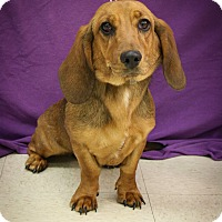 Adopt A Pet :: Juno - Broomfield, CO