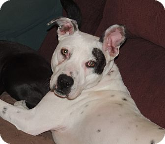 Pointer/Terrier (Unknown Type, Medium) Mix Dog for adoption in North Haverhill, New Hampshire - Sophie