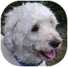 Bichon Frise Dog for adoption in Eatontown, New Jersey - Jasper