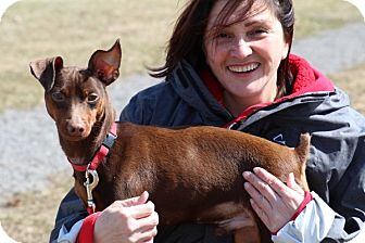Miniature Pinscher Mix Dog for adoption in Elyria, Ohio - Whipper