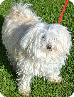 Maltese Mix Dog for adoption in Fruit Heights, Utah - Jack