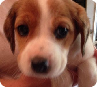 Beagle/Hound (Unknown Type) Mix Puppy for adoption in Olive Branch, Mississippi - Millington Pup #3-Boy!
