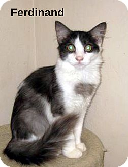Domestic Mediumhair Cat for adoption in San Diego, California - Ferdinand