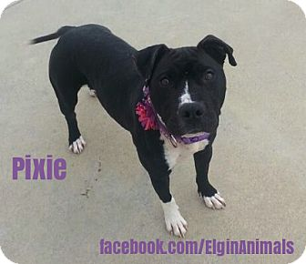 American Pit Bull Terrier/American Staffordshire Terrier Mix Dog for adoption in Elgin, Oklahoma - Pixie