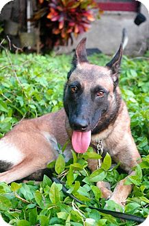 Belgian Malinois Mix Dog for adoption in Sunnyvale, California - Nessa