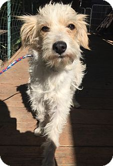 Jack Russell Terrier/Parson Russell Terrier Mix Dog for adoption in Santa Ana, California - Macy