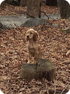 Cocker Spaniel/Irish Setter Mix Puppy for adoption in Patterson, New York - Louie
