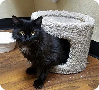 Domestic Mediumhair Cat for adoption in Trenton, New Jersey - Belinda