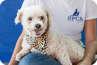 Poodle (Miniature) Mix Dog for adoption in Victoria, British Columbia - Zoey