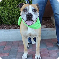 American Bulldog/American Pit Bull Terrier Mix Dog for adoption in Las Vegas, Nevada - NENA