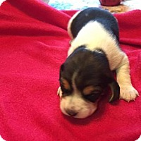 Adopt A Pet :: Layla - Orleans, VT