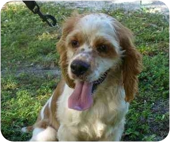 Cocker Spaniel Dog for adoption in Naples, Florida - Louie