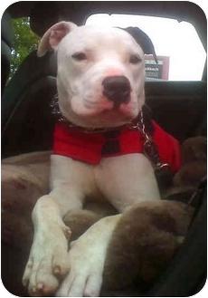 American Pit Bull Terrier Dog for adoption in El Segundo, California - Casper