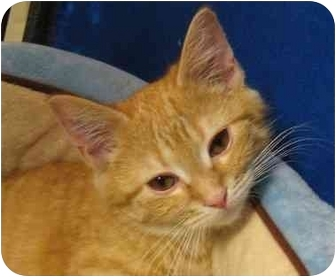 Domestic Shorthair Kitten for adoption in Jenkintown, Pennsylvania - Maddie