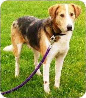 Beagle Mix Dog for adoption in Osseo, Minnesota - Bosco