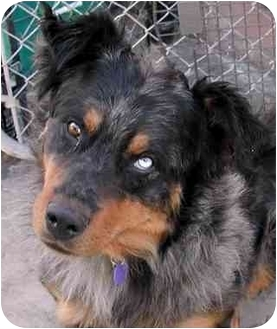 Australian Shepherd Dog for adoption in El Segundo, California - Graham