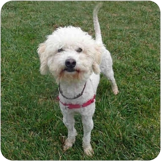 Poodle (Miniature) Mix Dog for adoption in San Clemente, California - BENDER