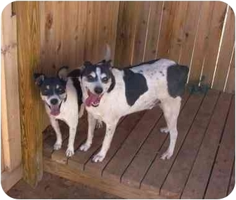 Rat Terrier Mix Dog for adoption in Lewisville, Texas - Jock and Oreo
