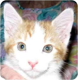 Domestic Shorthair Kitten for adoption in Muskogee, Oklahoma - Buttercup