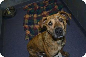 Terrier (Unknown Type, Medium) Mix Dog for adoption in Edwardsville, Illinois - Tiger