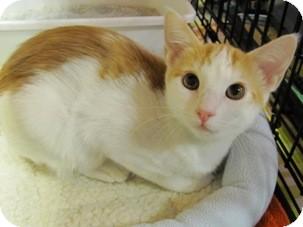 Domestic Shorthair Kitten for adoption in Diamond Bar, California - TUCKER