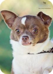 Chihuahua Dog for adoption in Mt Gretna, Pennsylvania - Monkey