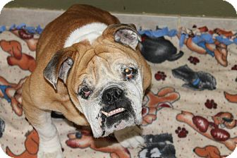 English Bulldog Dog for adoption in Winder, Georgia - Churchill