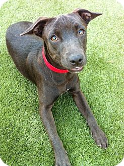 Whippet/Terrier (Unknown Type, Small) Mix Puppy for adoption in Los Angeles, California - Raisin