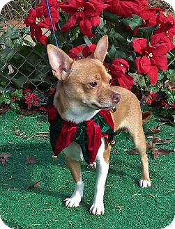 Chihuahua Mix Dog for adoption in Marietta, Georgia - STEWIE