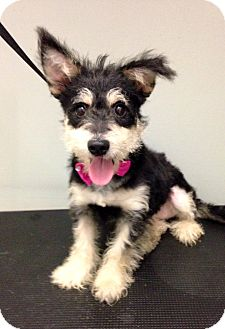 Yorkie, Yorkshire Terrier/Terrier (Unknown Type, Small) Mix Puppy for adoption in South Gate, California - Nala