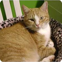 Domestic Shorthair Cat for adoption in Topeka, Kansas - Yeegads