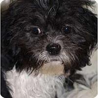 Adopt A Pet :: ShihTzu/Bichon pups - Toronto/Etobicoke/GTA, ON