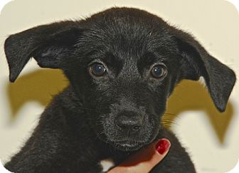 Sheltie, Shetland Sheepdog/Border Collie Mix Puppy for adoption in Kalamazoo, Michigan - Zita