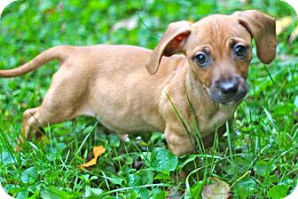 Dachshund Mix Puppy for adoption in Salem, New Hampshire - PUPPY SNICKERDOODLE