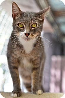 Domestic Shorthair Cat for adoption in El Dorado Hills, California - Bailey