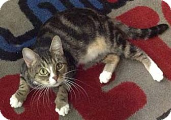 Domestic Shorthair Cat for adoption in Merrifield, Virginia - Lindy