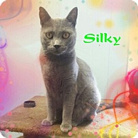 Domestic Shorthair Cat for adoption in New Richmond,, Wisconsin - Silky