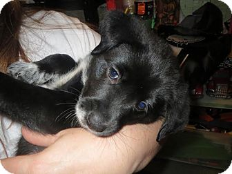 Labrador Retriever/Cattle Dog Mix Puppy for adoption in Gainesville, Florida - Bobby