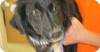 Collie/Flat-Coated Retriever Mix Dog for adoption in Newnan City, Georgia - Sheila