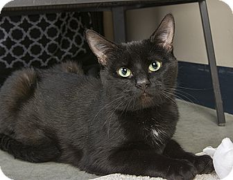 Domestic Shorthair Cat for adoption in Wilmington, Delaware - Sammy