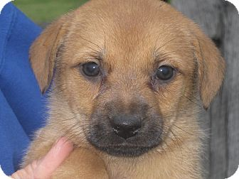 Pekingese Mix Puppy for adoption in Albany, New York - Akemi