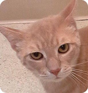 Domestic Shorthair Cat for adoption in Maquoketa, Iowa - Charlie