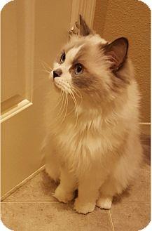 Ragdoll Cat for adoption in Gilbert, Arizona - Bebe