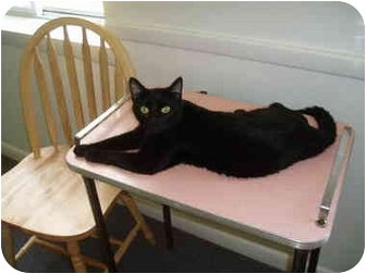 Domestic Shorthair Cat for adoption in Hamburg, New York - Sweety