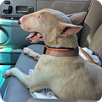 Bull Terrier Dog for adoption in Houston, Texas - Sierra