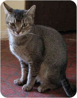 Abyssinian Cat for adoption in Davis, California - Kipling
