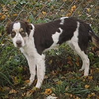 Brittany/Border Collie Mix Dog for adoption in Normal, Illinois - TN/Addy